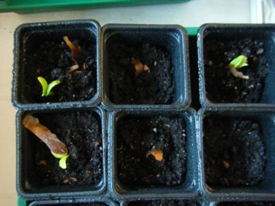 Germinations Plumeria rubra ETNA/SANGARRUN  Plumer11