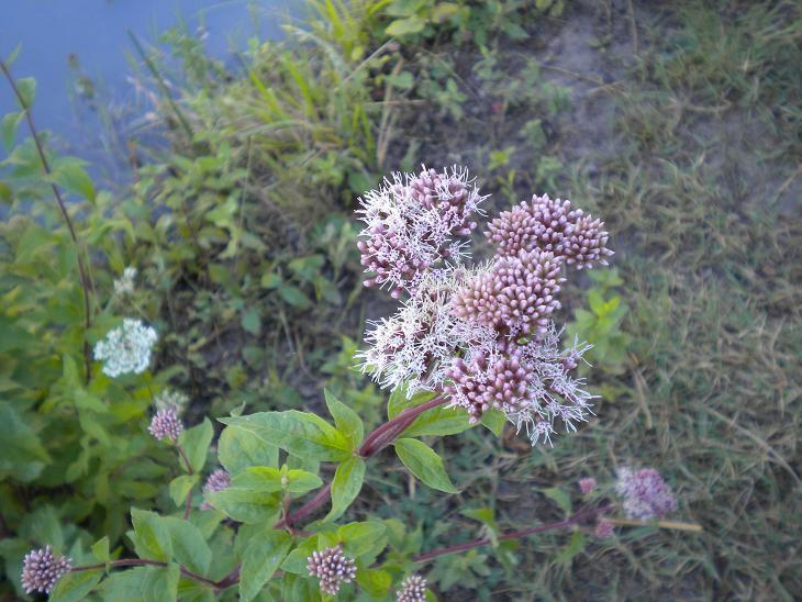 Eupatoire chanvrine / Eupatorium cannabinum Fleurs10