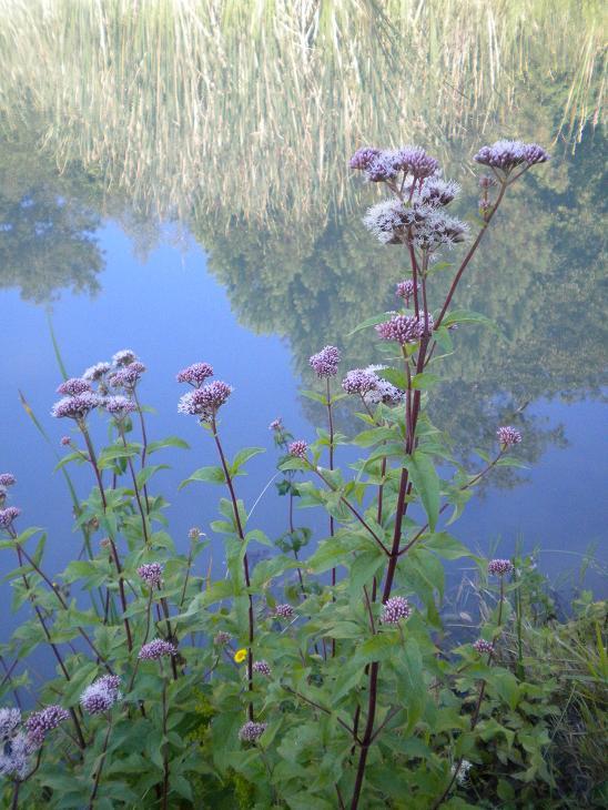 Eupatoire chanvrine / Eupatorium cannabinum Fleurs11