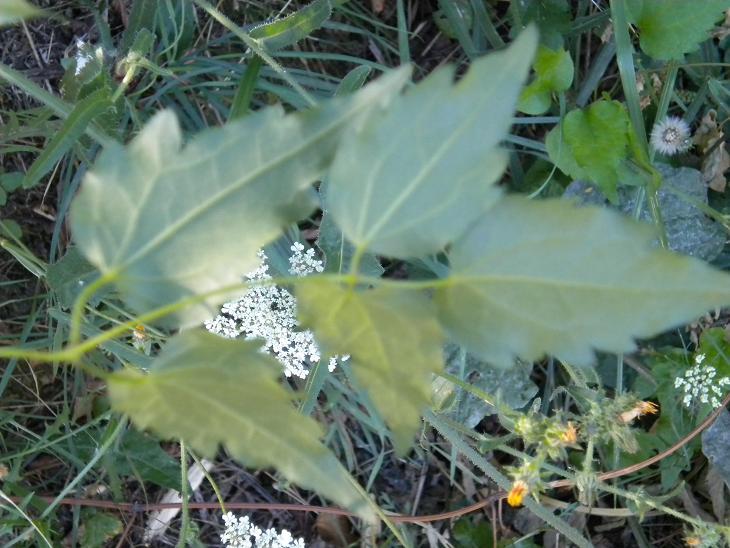 Clématite / Clematis sp. Pas_li12