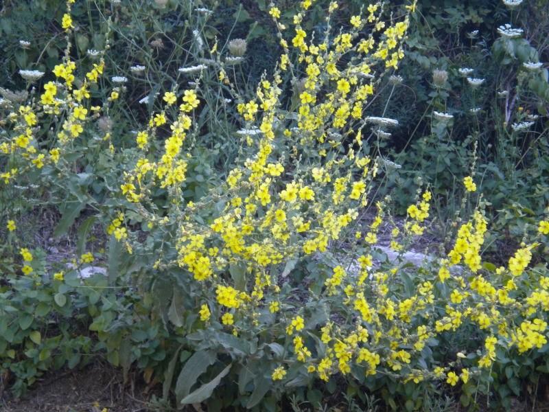 Molène à feuilles sinuées / Verbascum sinuatum Photos10