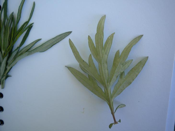Armoise Artemisia (résolu) Photos18