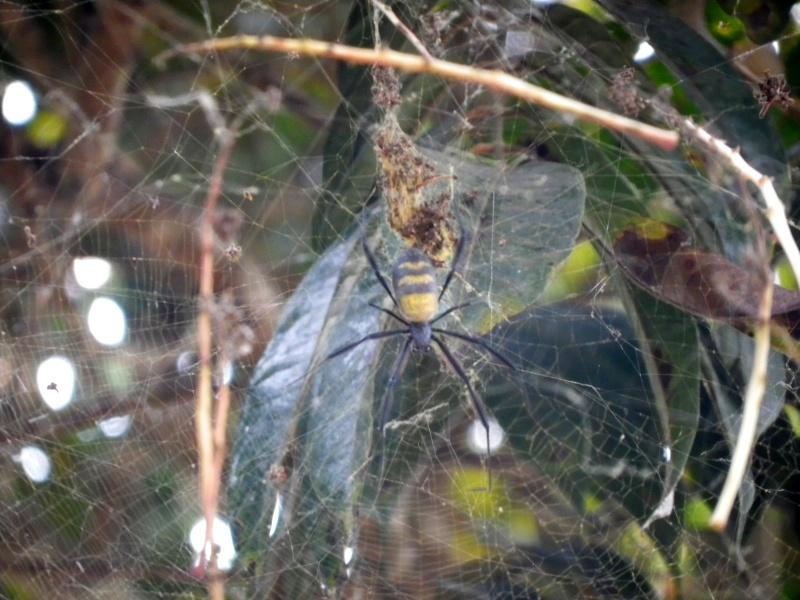Araignée Congo Imgp1113