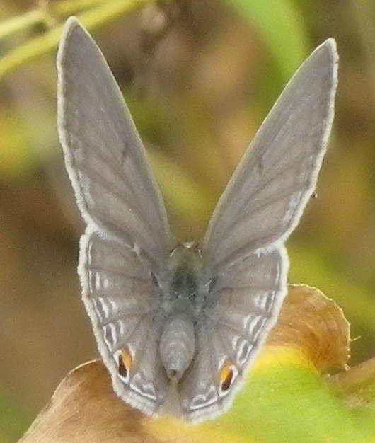 Papillon congo 10 Imgp2710