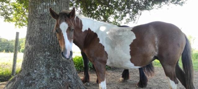 (87) SALSA - ONC Poney née en 2013 - NON MONTABLE - A ADOPTER (126 € + don libre) 21576311