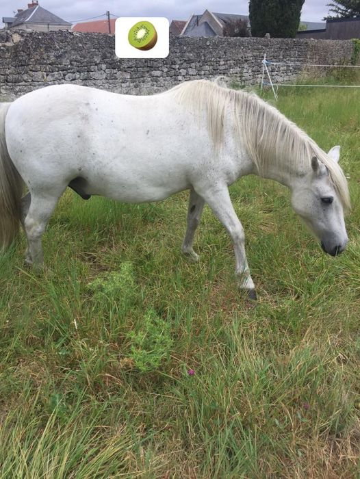 KIWI - ONC poney typé Shetland né en 1998 - adopté en juillet 2015 par Alexandra 23850210