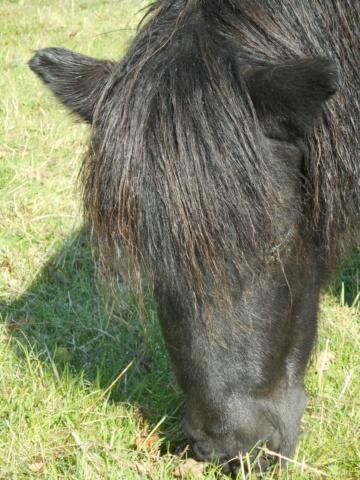 TEDDY - ONC Poney Typé Shetland né en 2007 - adopté en juillet 2021 par Ceed 361