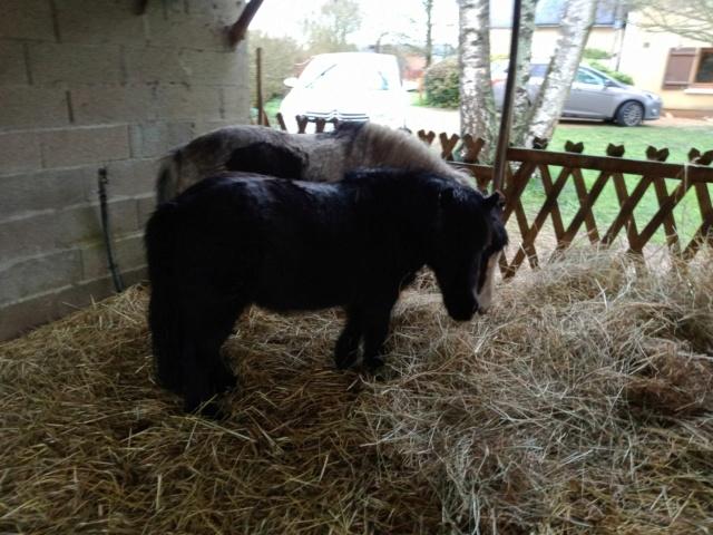 VAVAVROUM DELISSAM (2010) et APACHE DELISSAM (2009) - ONC poneys type Shetland - adoptés en mars 2019 par Sylvie Img_2272
