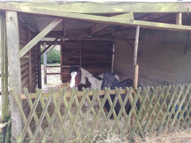 VAVAVROUM DELISSAM (2010) et APACHE DELISSAM (2009) - ONC poneys type Shetland - adoptés en mars 2019 par Sylvie Img_2273