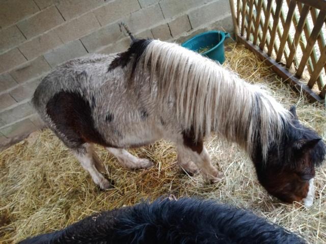VAVAVROUM DELISSAM (2010) et APACHE DELISSAM (2009) - ONC poneys type Shetland - adoptés en mars 2019 par Sylvie Img_2274