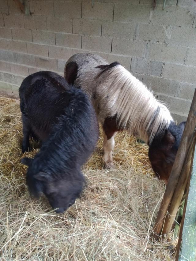 VAVAVROUM DELISSAM (2010) et APACHE DELISSAM (2009) - ONC poneys type Shetland - adoptés en mars 2019 par Sylvie Img_2276