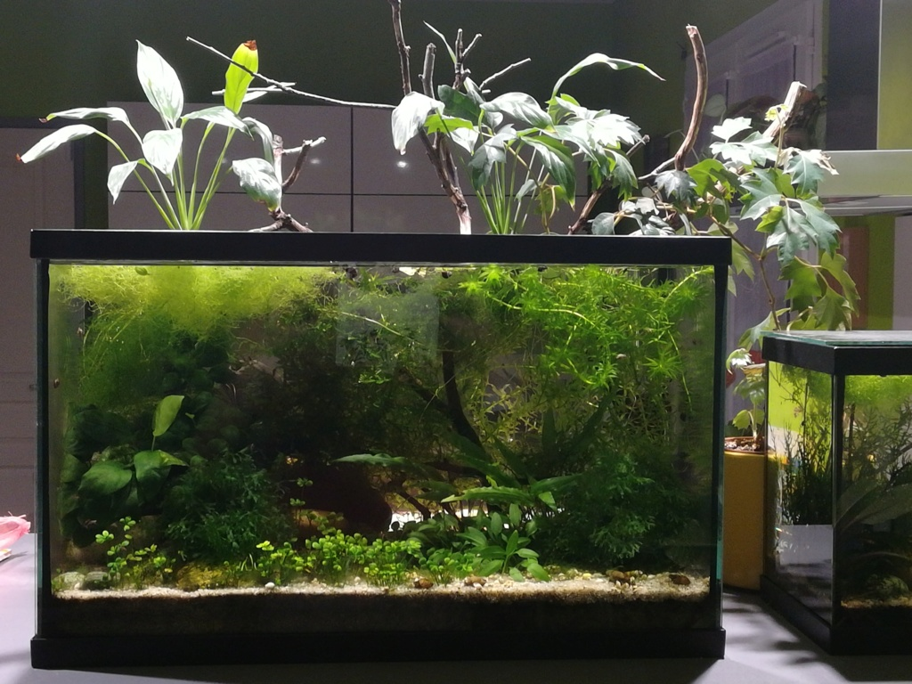 Aquarium ouvert low-tech 40 litres - Page 3 Aqua3511