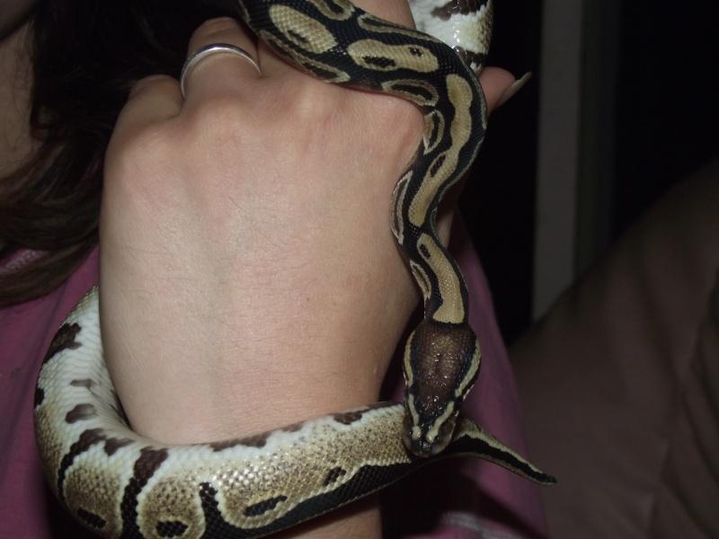 Nouveau venu Python royal  Dscf1010