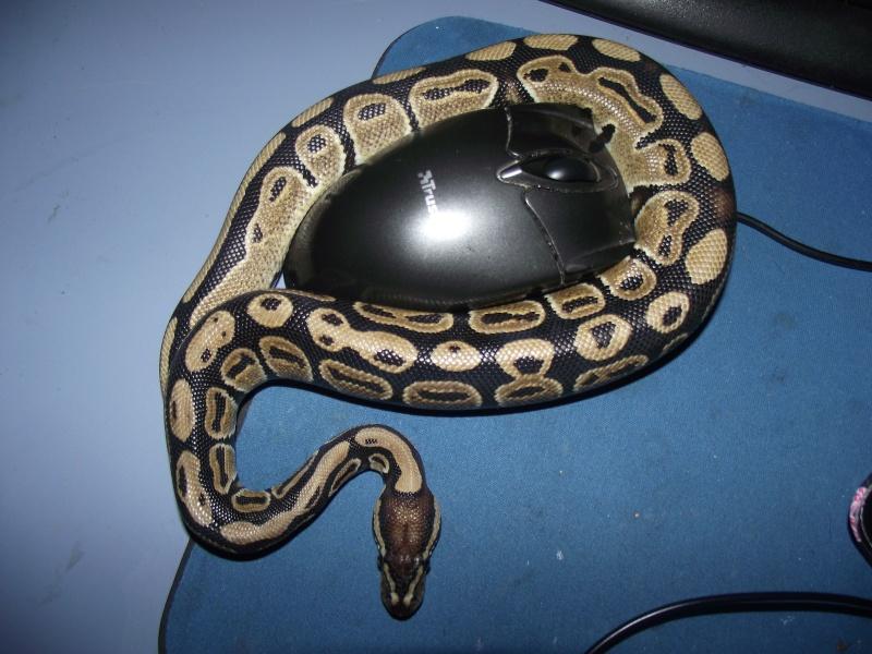 Nouveau venu Python royal  Dscf1114