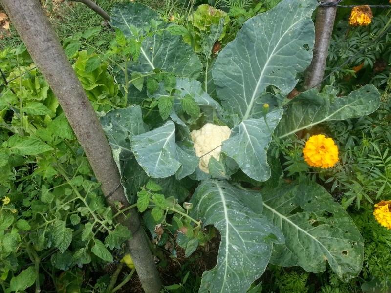Le chou-fleur  Chouxf13