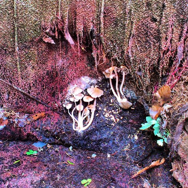 Champignon paresseux  Fungus10