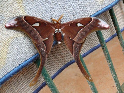 quel est ce papillon? 45239112