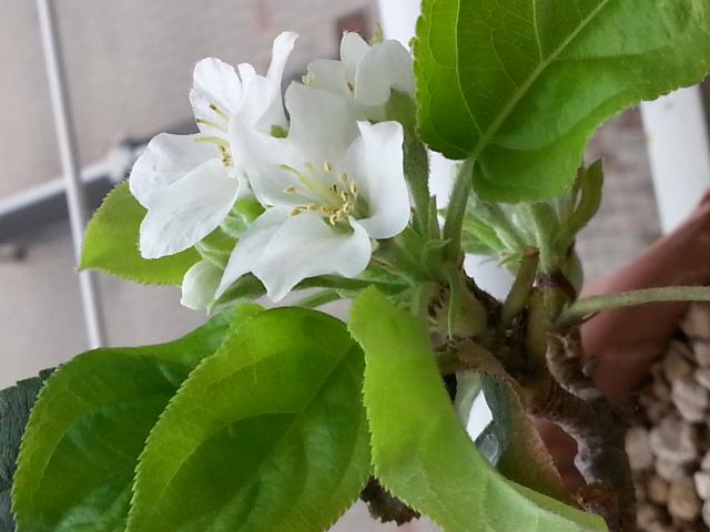 seconda fioritura melo.... 20130914