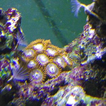 Les zoanthus  Imgp0311