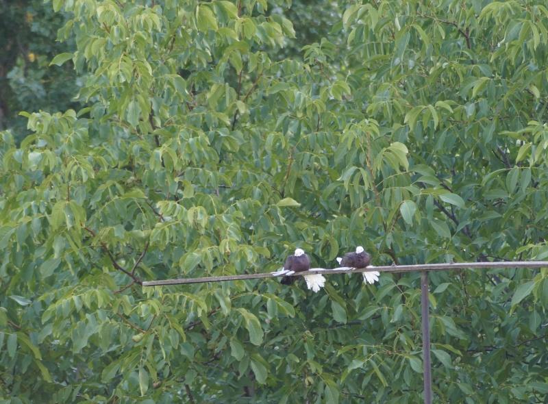Армавирские   белоголовые     космачи - Страница 2 11110