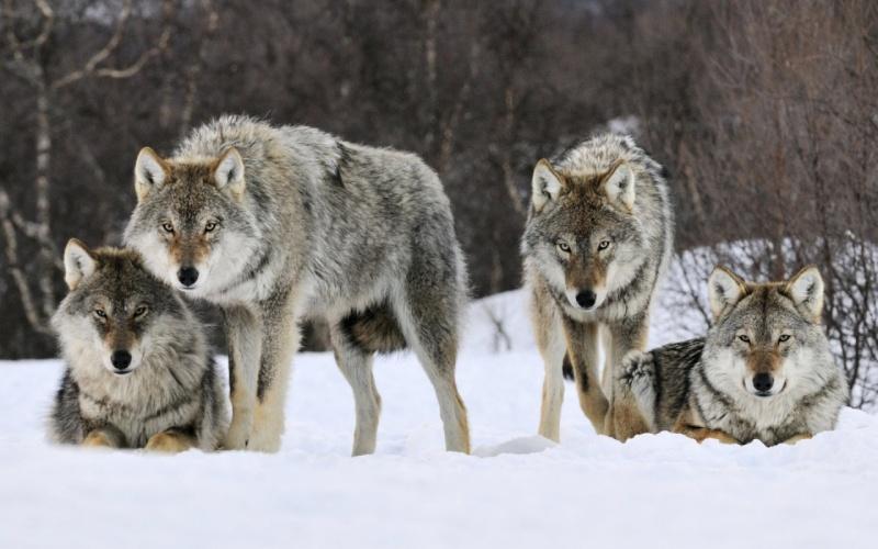 ~Forest's Bio~ Wolf_711