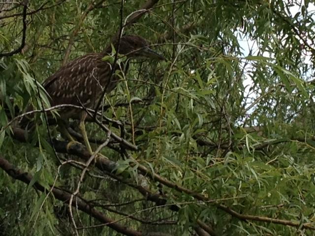 Quel est cet oiseau ? Photo12