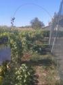 Grappes de raisin qui se déssèchent 2013-010