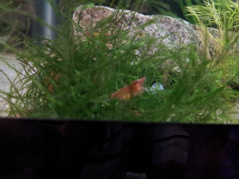 Red Cherry Shrimps with eggs!!! Rcs110
