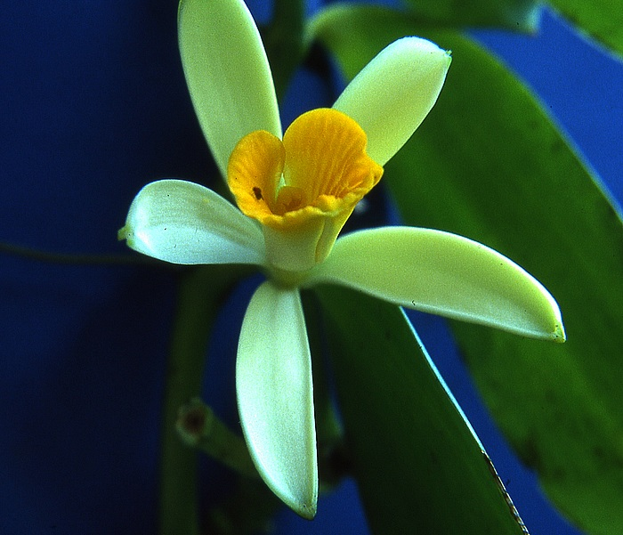 Vanilla palmarum (sujet divisé de Vanilla bahiana) Vanill10
