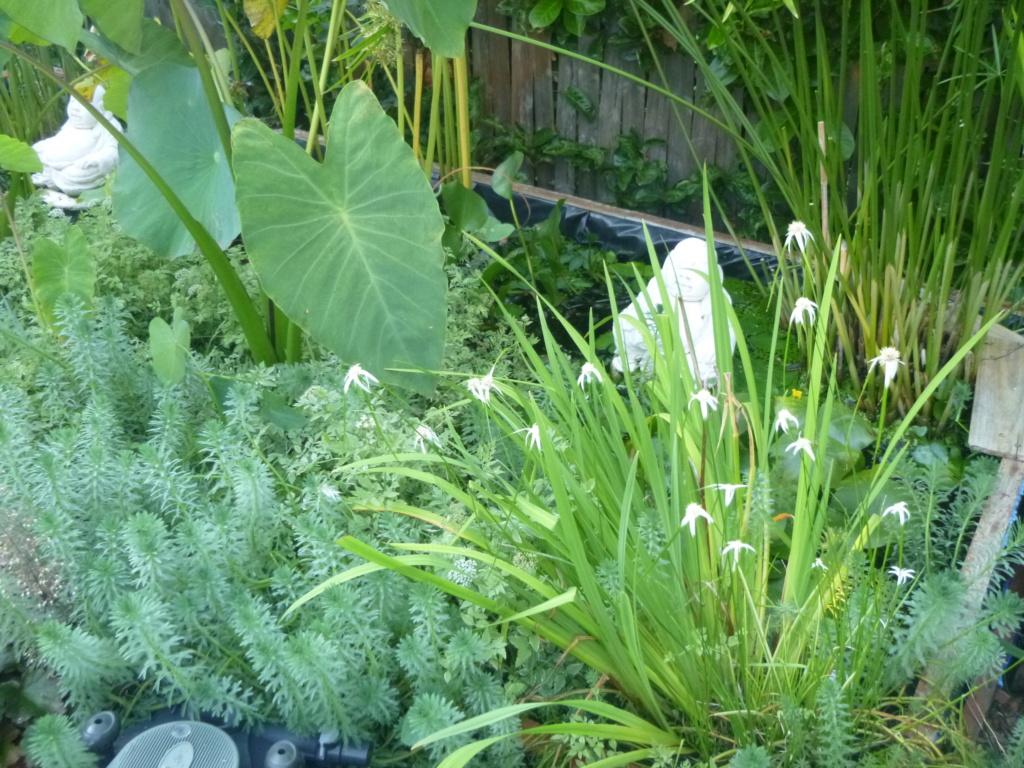 le bassin floral d'été de mes anodonte et moules naine - Page 16 215