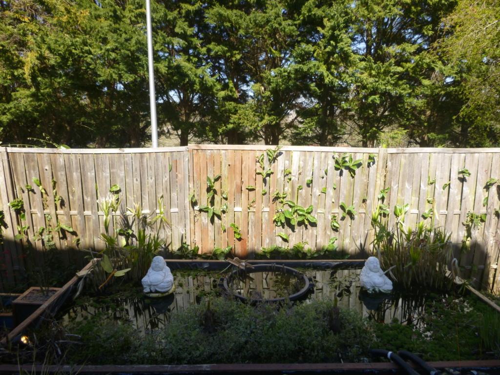 le bassin floral d'été de mes anodonte et moules naine - Page 16 316