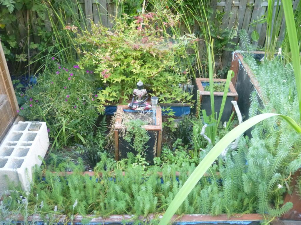 le bassin floral d'été de mes anodonte et moules naine - Page 16 512