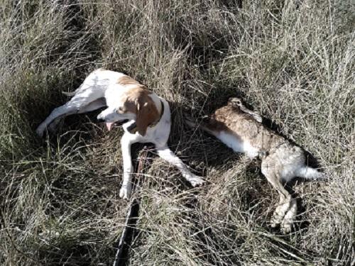 Chasser le lièvre et le renard avec un seul chien courant Lizovr11