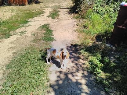 Chasser le lièvre et le renard avec un seul chien courant Ruby10