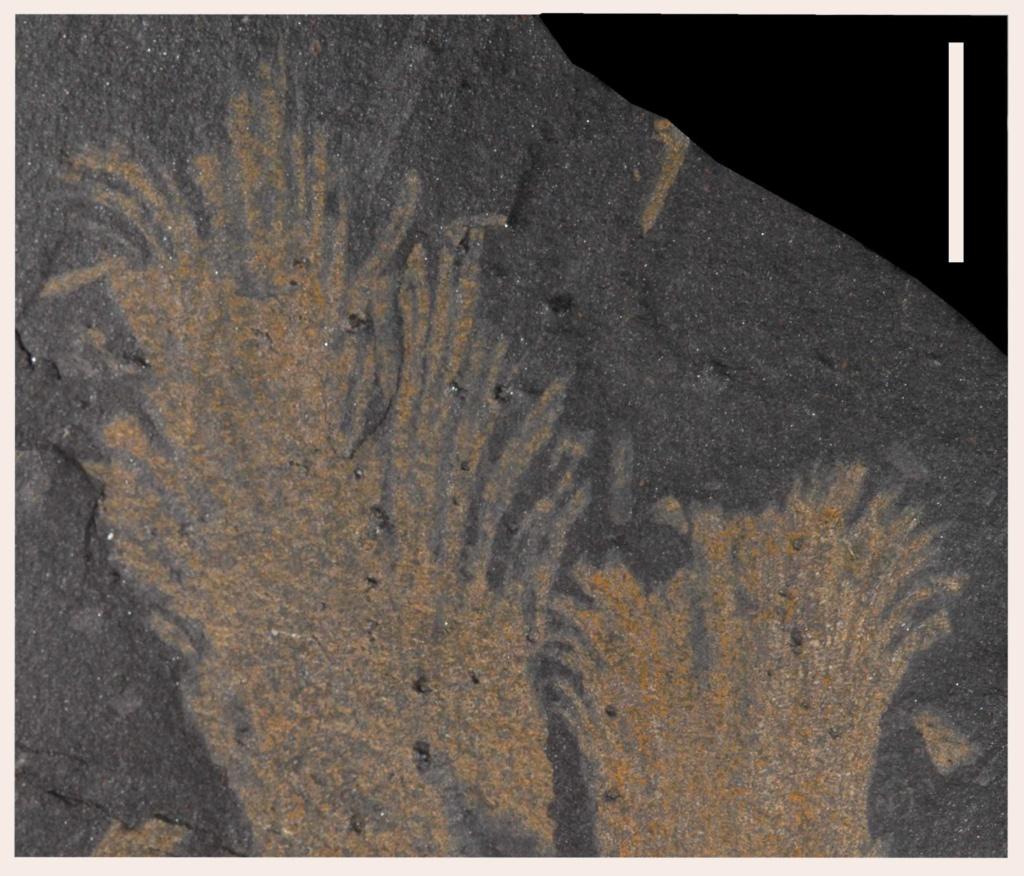 Flore Carbonifère des Alpes Françaises part 2 - Page 3 Aphlzo10