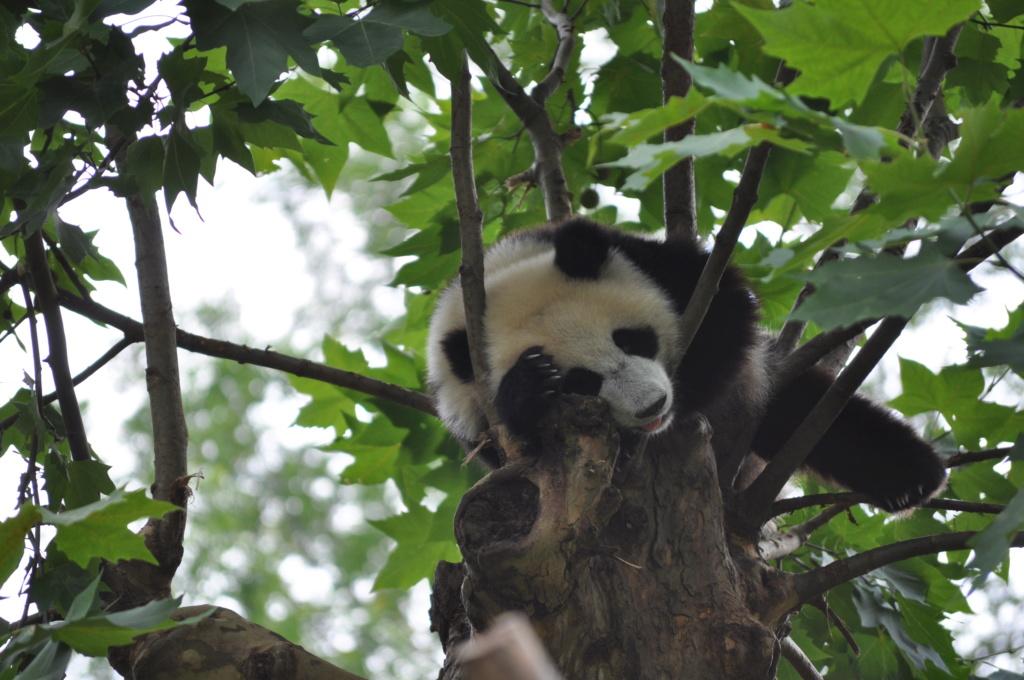 Panda, .......... un rêve devenu réalité Dsc_0213