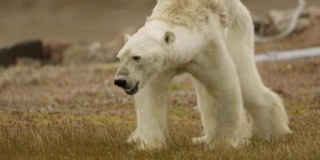 Des ours polaires attaquent les passants Ours_p12