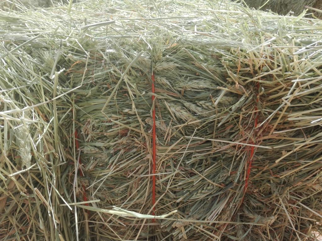 علف القمح الاخضر بالسنبلة - شركة تبوك الزراعية& تادكو  Ooa_aa10