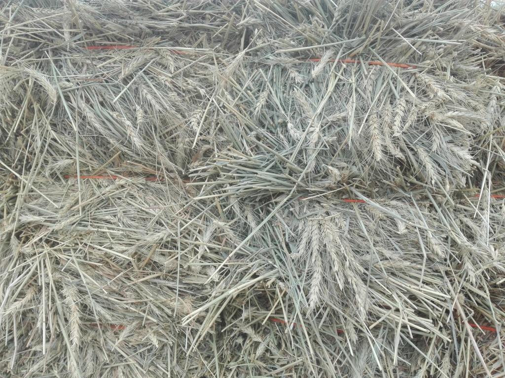 علف القمح الاخضر بالسنبلة - شركة تبوك الزراعية& تادكو  Ooa_aa12