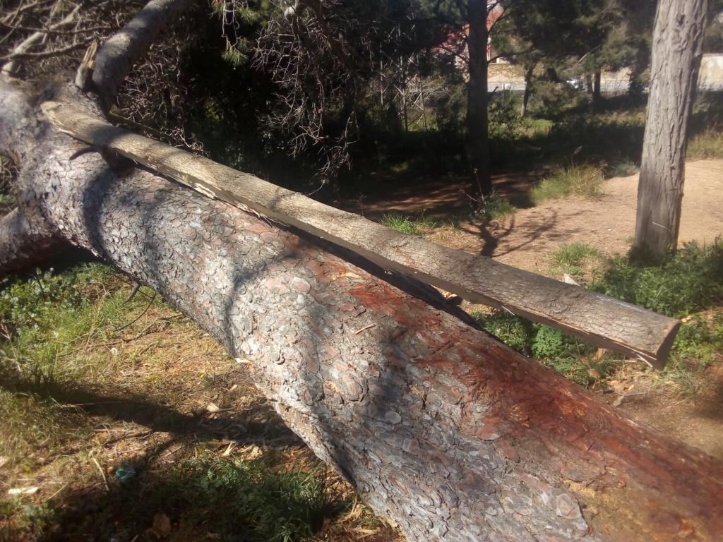 Arco de Fraxinus angustifolia de Juan Antonio para el Intercambio de Arcos 2.019. Img_2065
