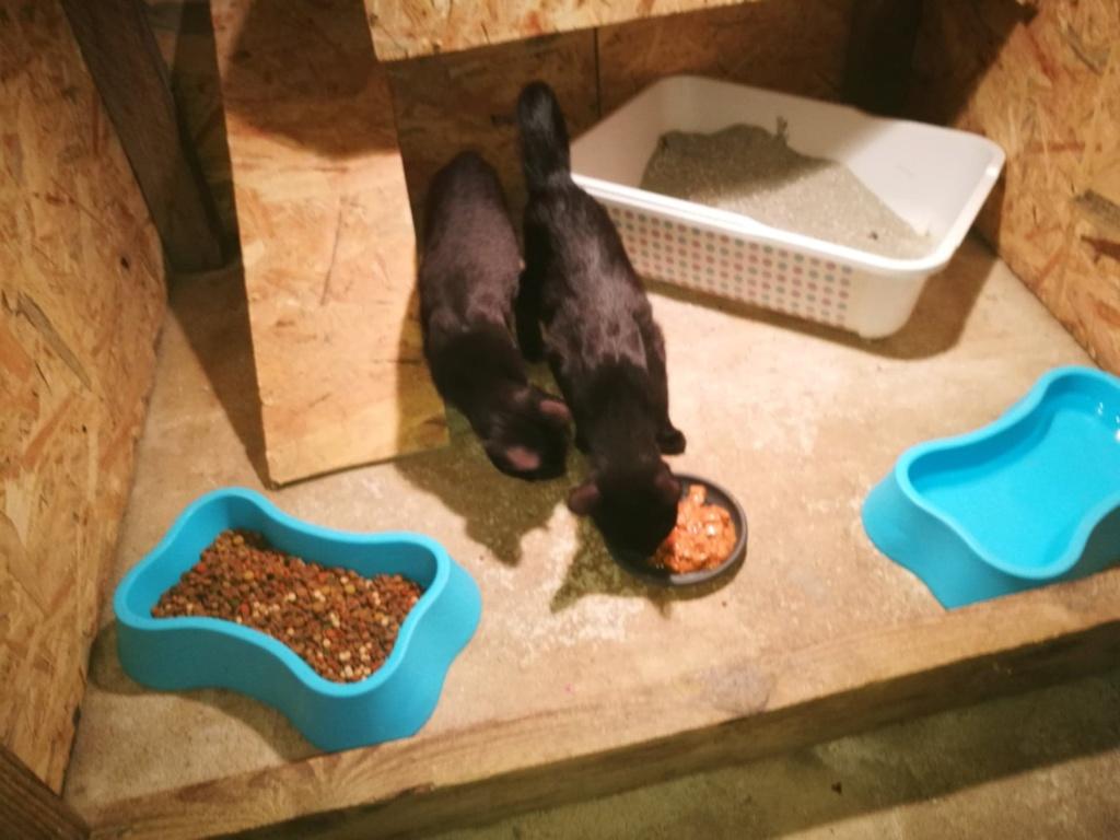 Bagherra - femelle - réservée adoption par sa FA (68) 41364711