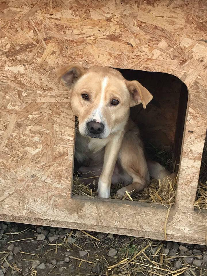 Karol - mâle - refuge Târgu Frumos - Réservé adoption par sa famille d'accueil (70) 43354210