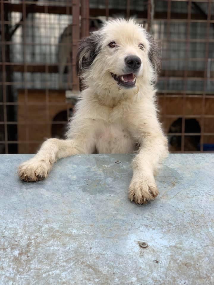 Alba -femelle- fourrière de Târgu Frumos - adoptée en Hollande 48e90110