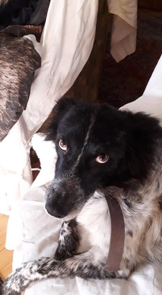 Bandit - mâle - refuge Târgu Frumos - réservé adoption (88) 51701510
