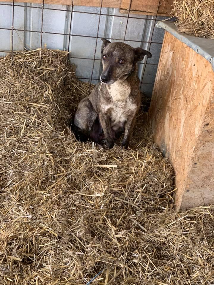 Ravioli - femelle - Fourrière de Târgu Frumos 55943810