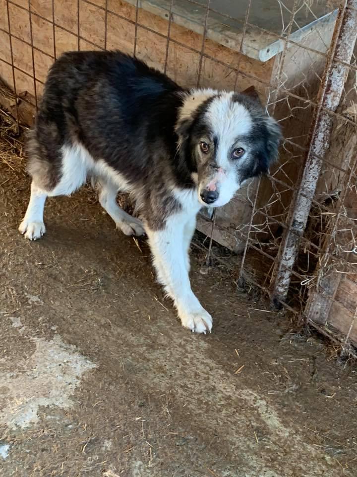 Everest - femelle - fourrière de Târgu Frumos - sera en famille d'accueil dans le 67 en mai 56500710