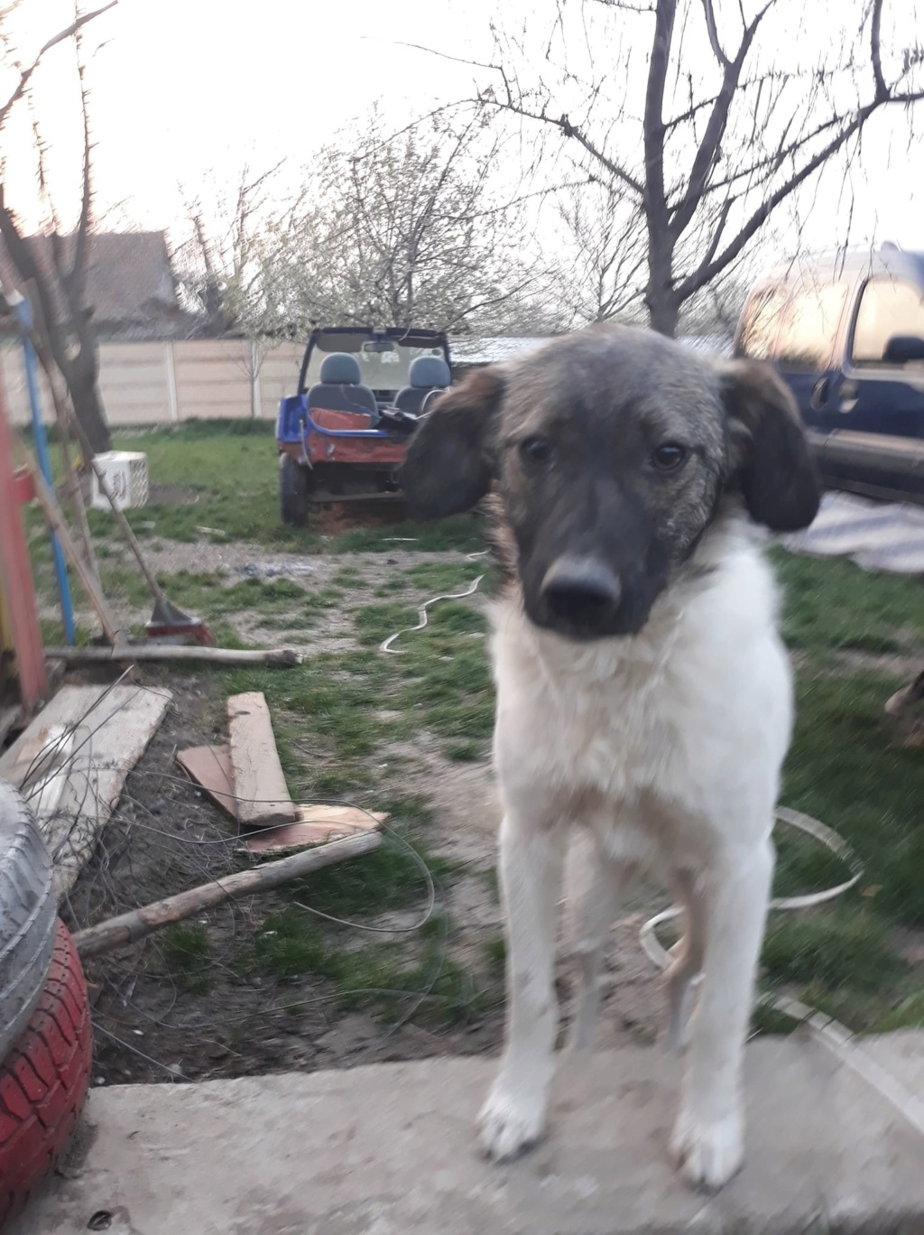 Ziggy-mâle-refuge d'Arad - adopté via Arad 56587610
