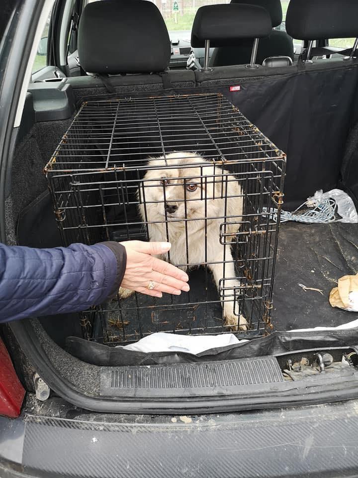 Vulpe - mâle - fourrière de Târgu Frumos 57183714