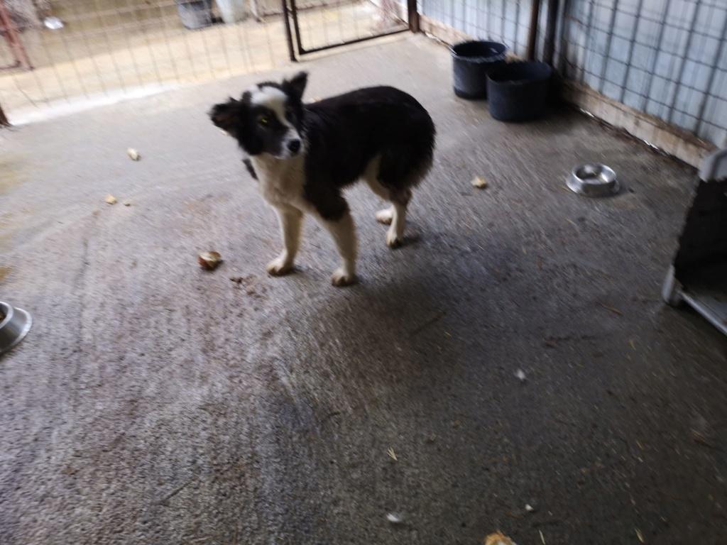 Everest - femelle - fourrière de Târgu Frumos - sera en famille d'accueil dans le 67 en mai 57213713