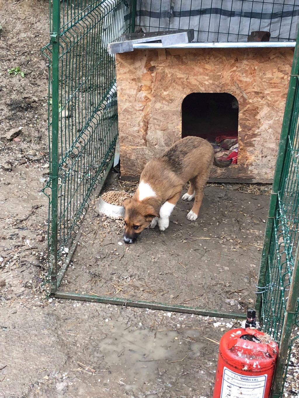 Toby- mâle-refuge de Targu Frûmos - réservé adoption 67 57272010